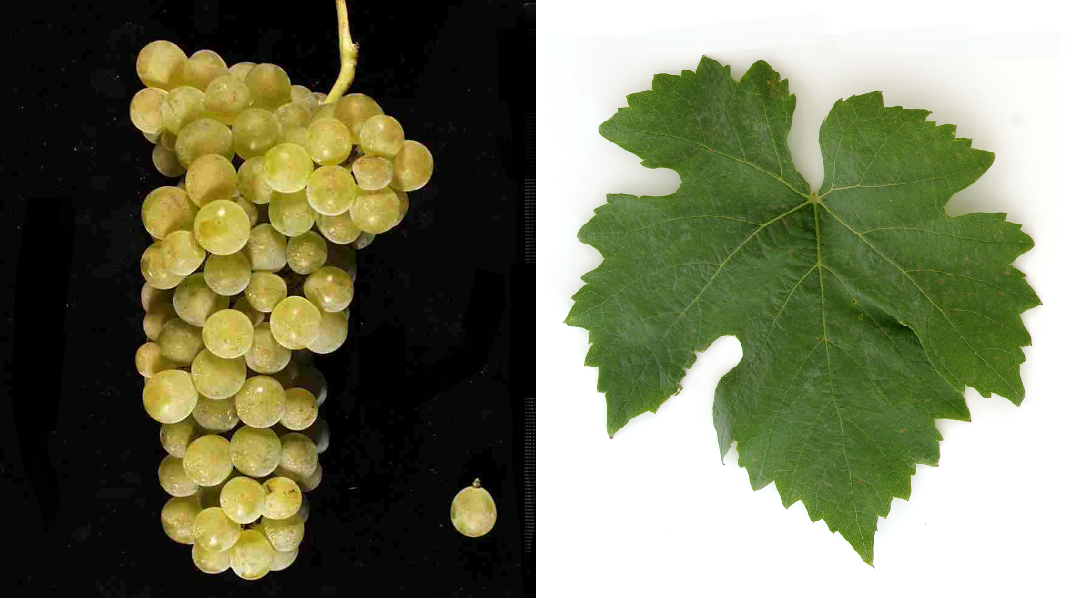 Gutenborner - grape and leaf