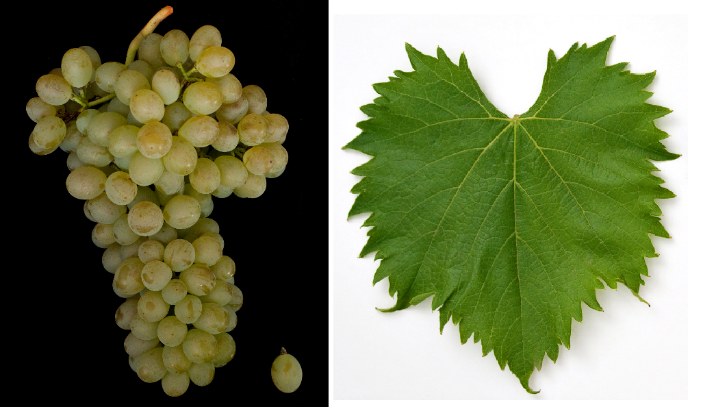 Garantos - grape and leaf