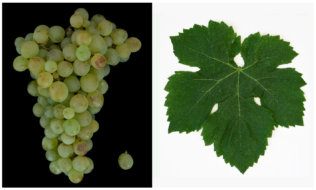 Pascal Blanc - grape and leaf