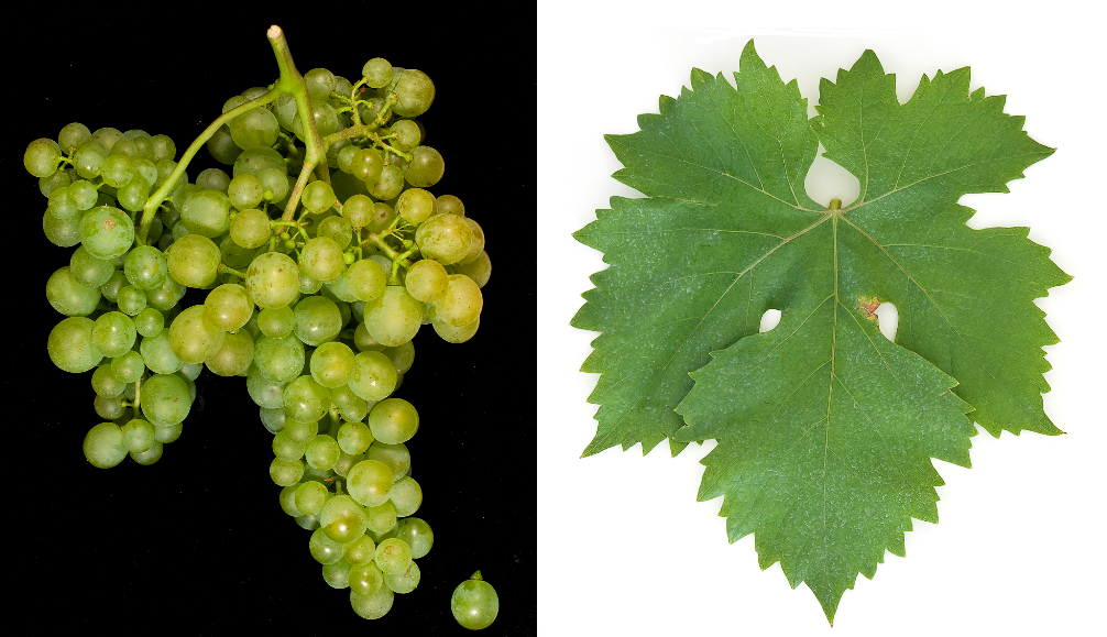 Nasco - grape and leaf