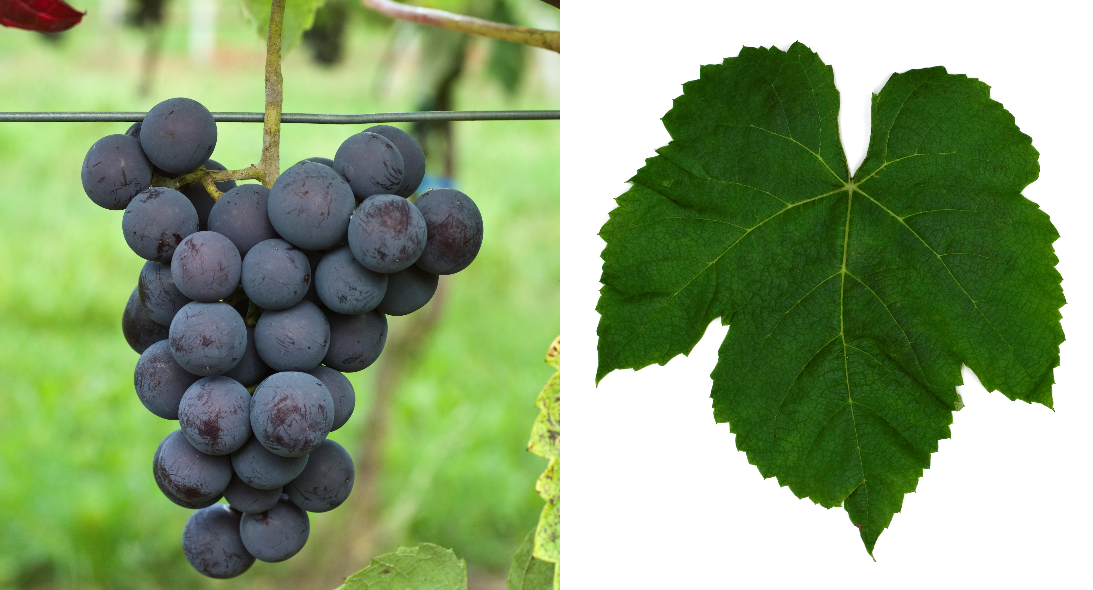 New York Muscat - grape and leaf