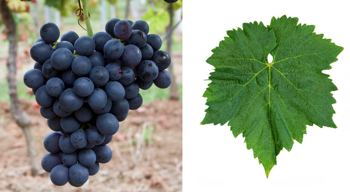 Bellino - grape and leaf