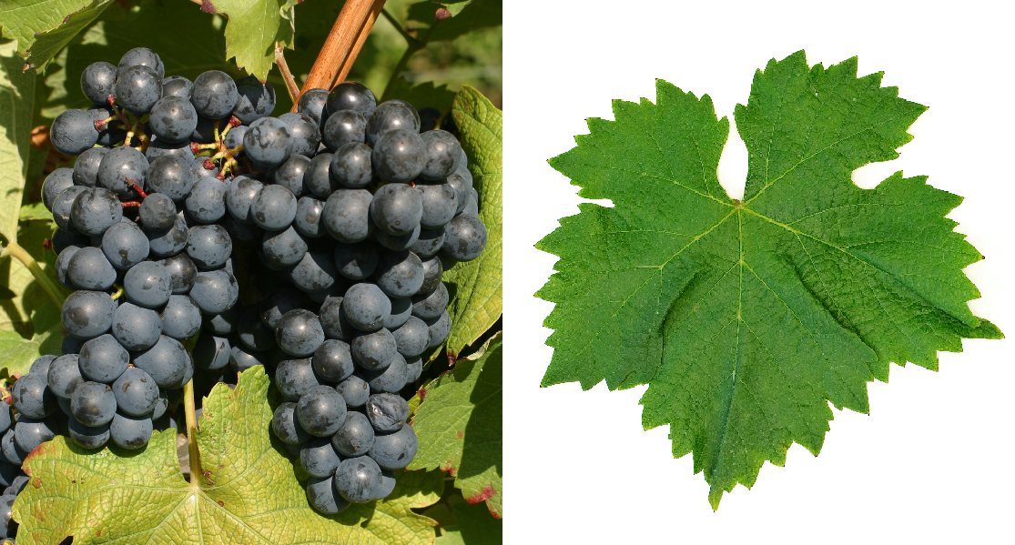 Abouriou - grape and leaf