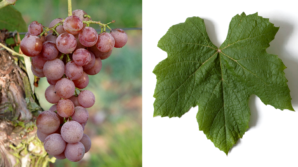Iona - grape and leaf