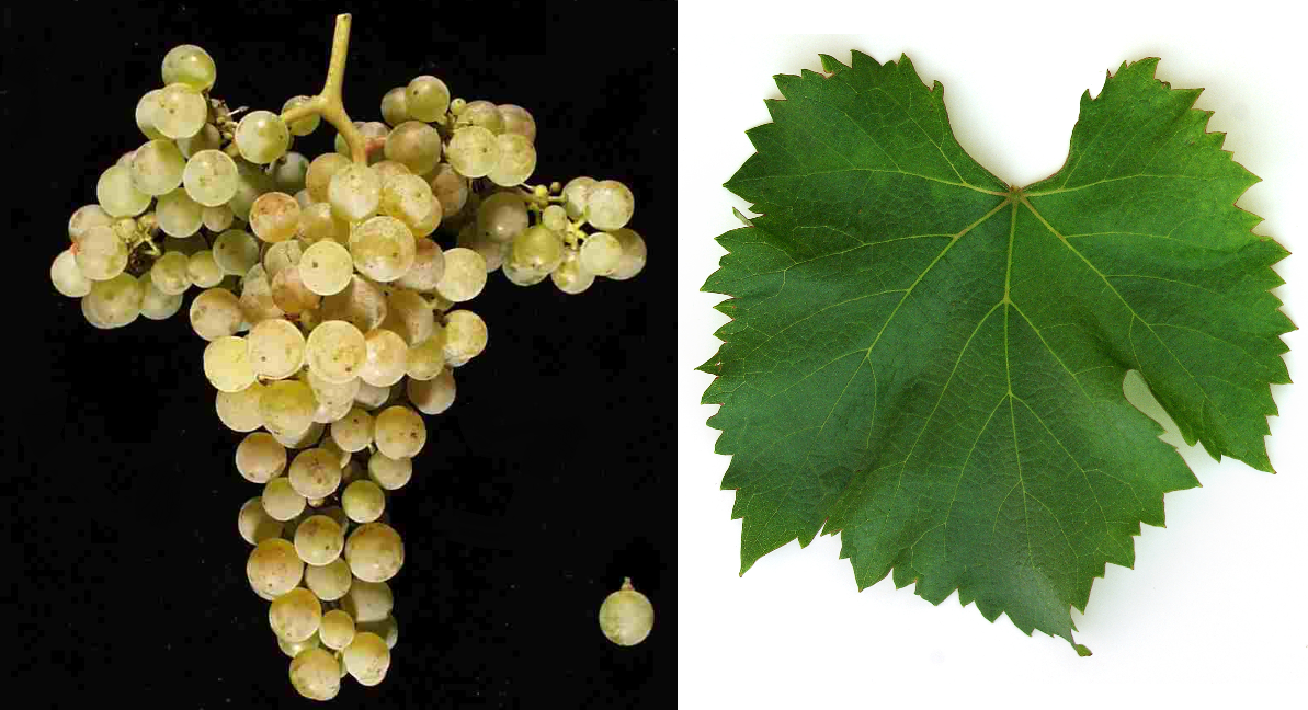 Arriloba - grape and leaf