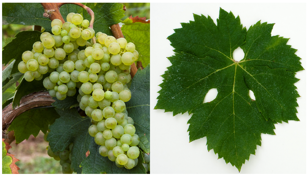 Malvasia Bianca Lunga (Prosecco Nostrano) - grape and leaf