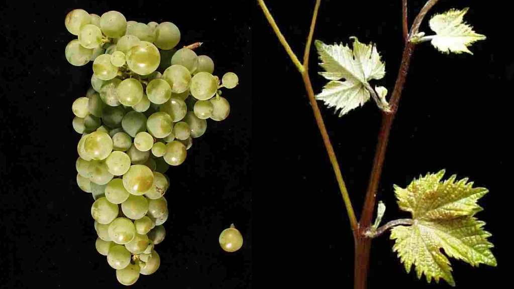 Žilavka - grape and leaf
