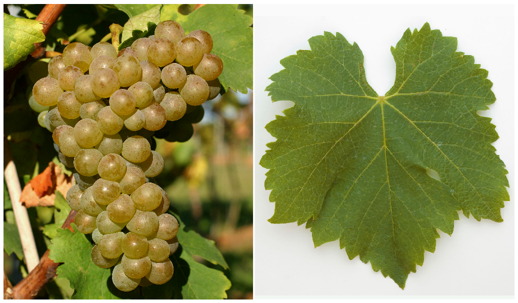 Viognoer - grape and leaf