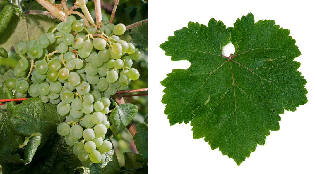 Athiri Aspro - grape and leaf