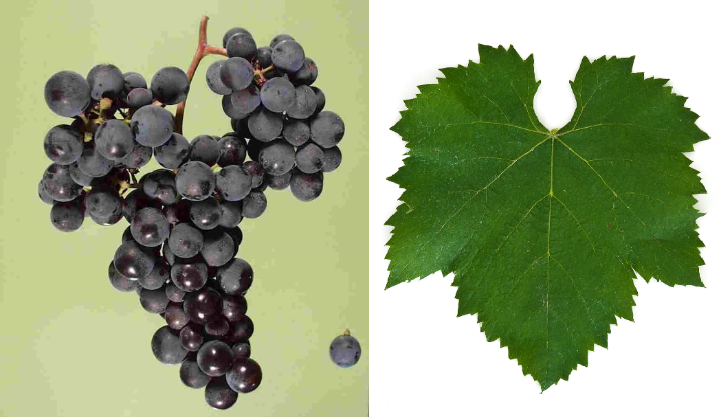 Teroldego - grape and leaf