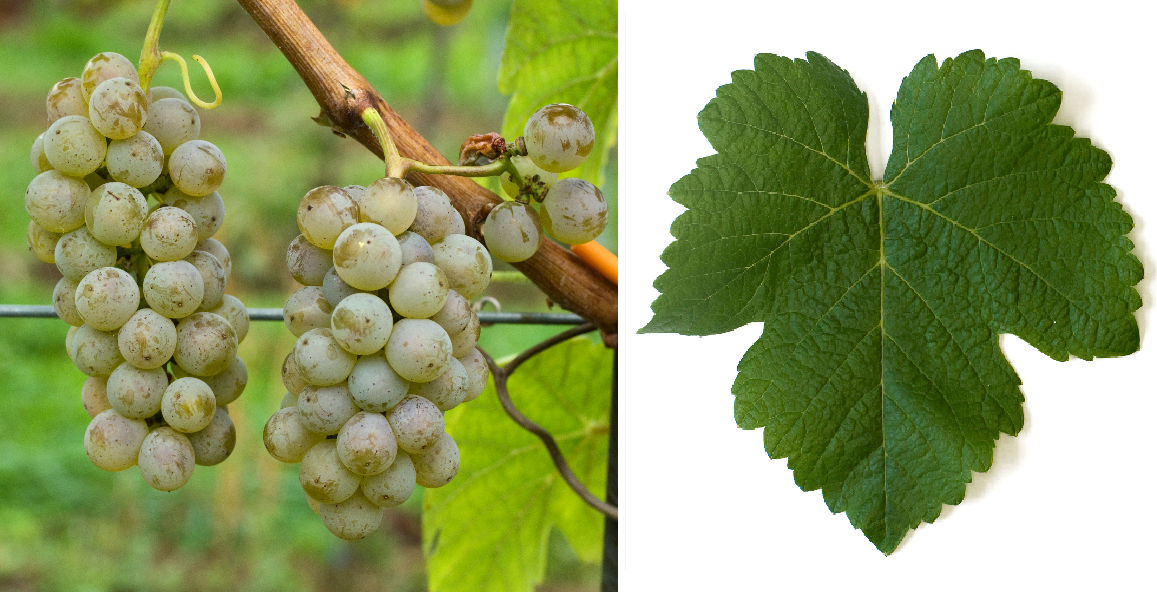 Noble Franconian - grape and leaf