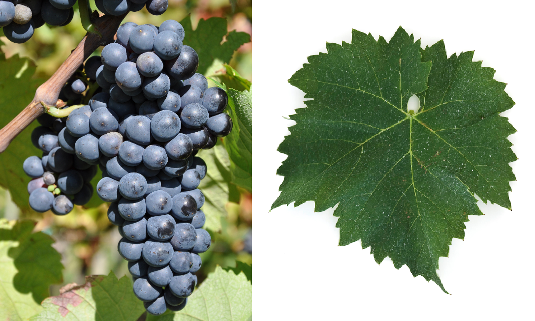Mavrud Varnenski - grape and leaf
