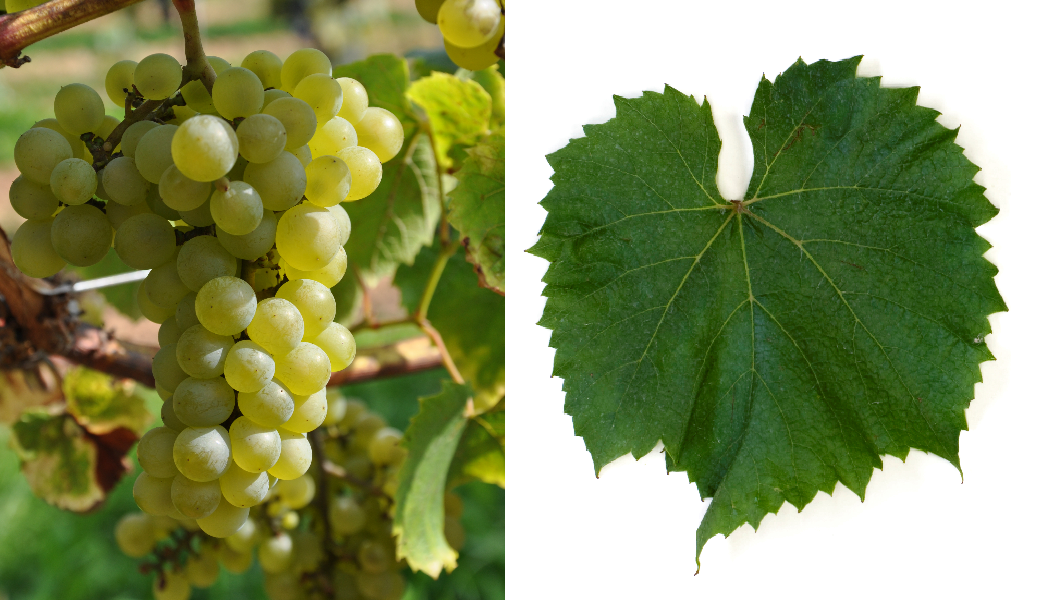 Melody - bunch of grapes and leaf