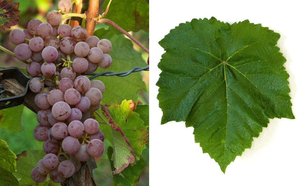 Suffolk Red - grape and leaf