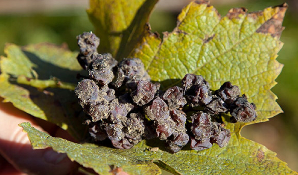 Grape with dried berries