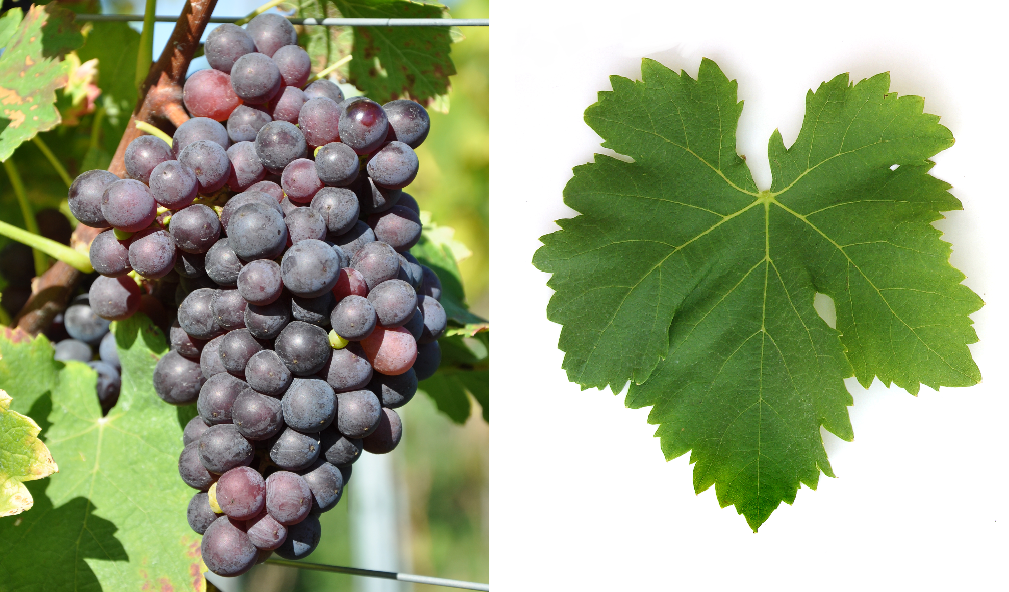 Plant Droit - grape and leaf
