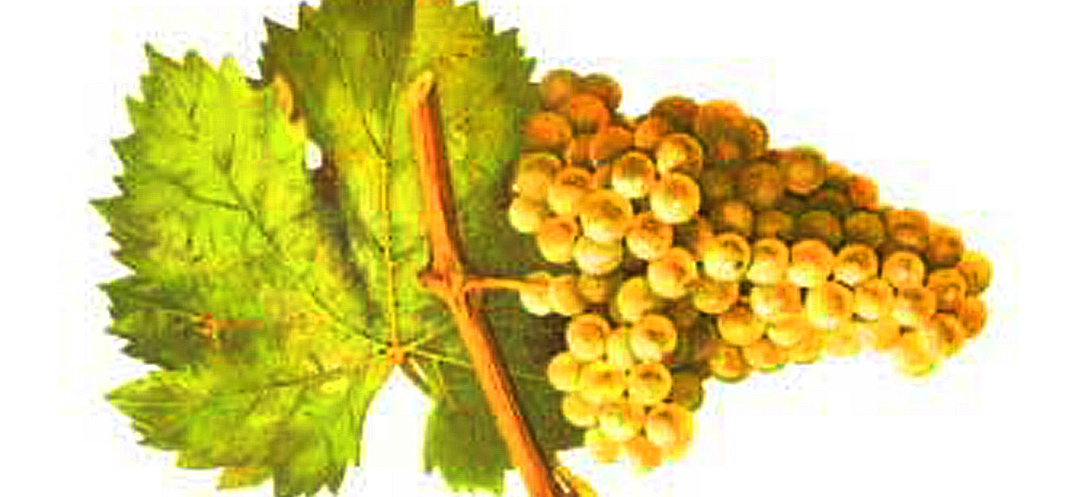 Jacquère - grape with leaf - by Victor Vermorel