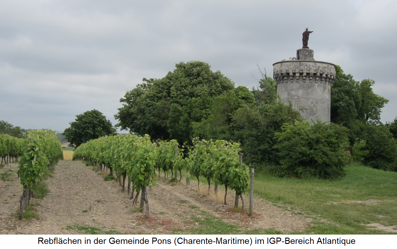 Vineyards in the municipality of Pons (Charente-Maritime) in the IGP area Atlantique