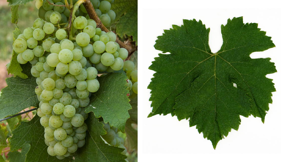 Merlot Blanc - grape and leaf