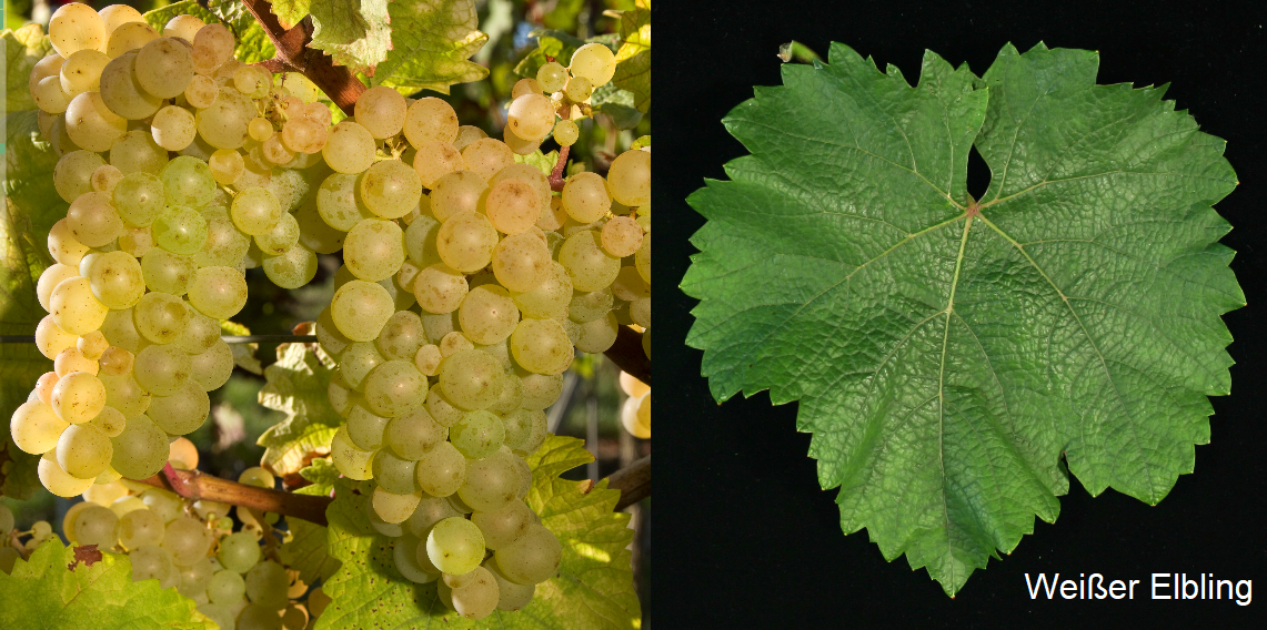 White Elbling - bunch of grapes and leaf