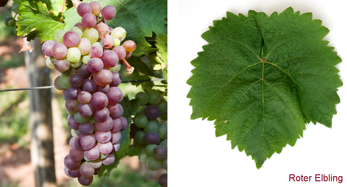 Red Elbling - bunch of grapes and leaf