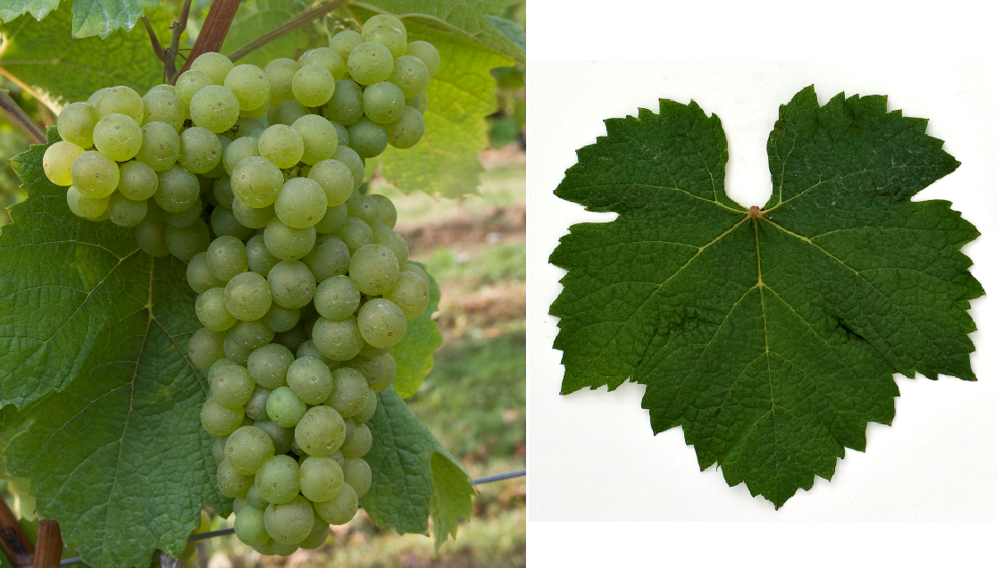 Liliorila - grape with leaf