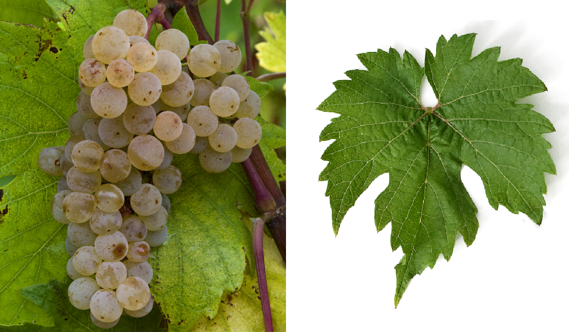 Tissier Ravat - grape and leaf