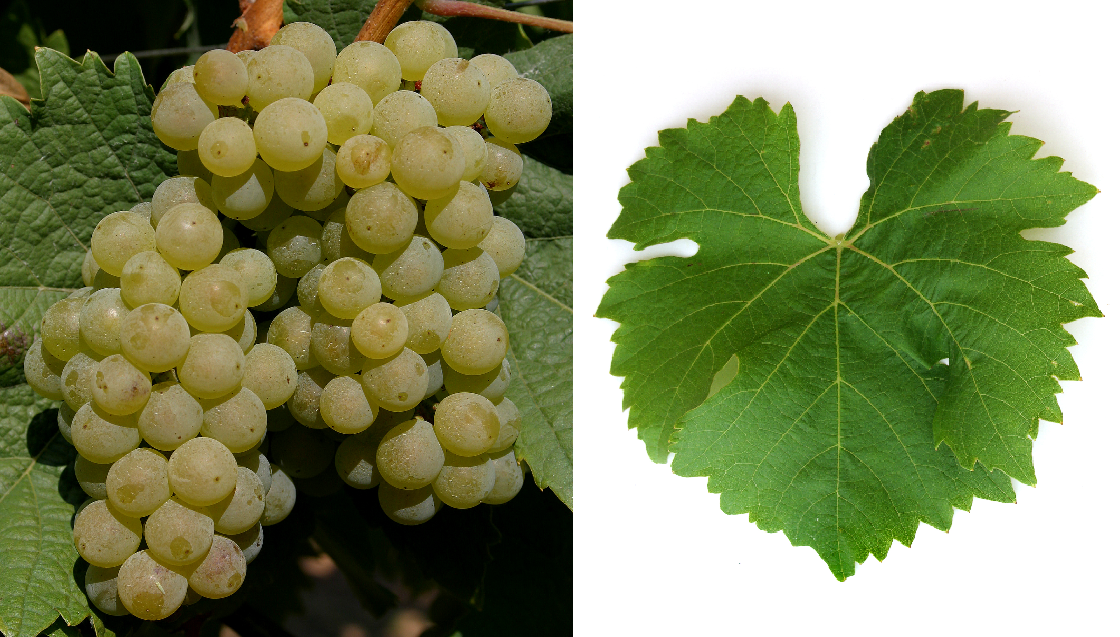 Bacchus - grape and leaf