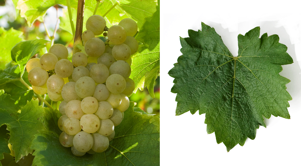 Réselle - grape and leaf