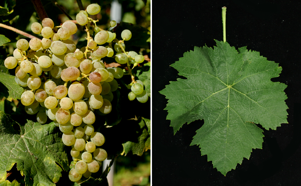 Picapoll Blanco - grape and leaf