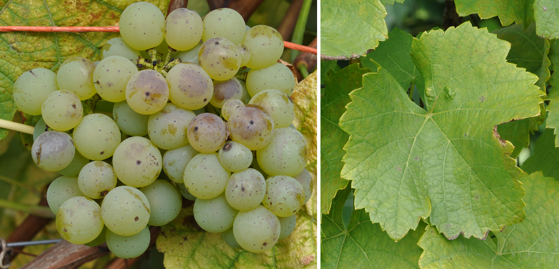 Silcher - grape and leaf