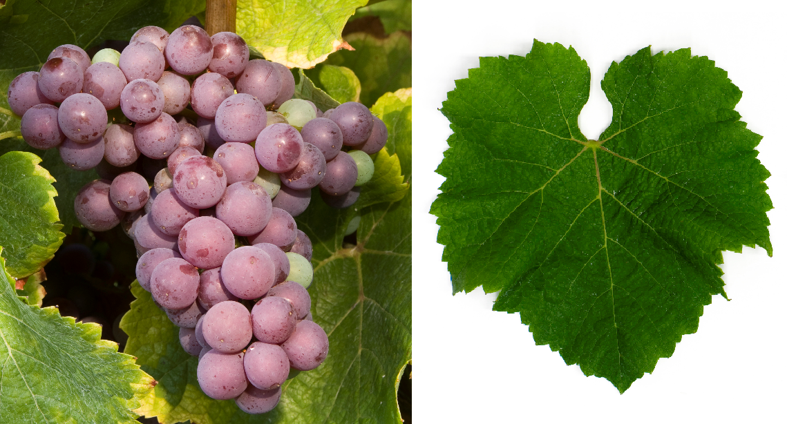 Flora - grape and leaf