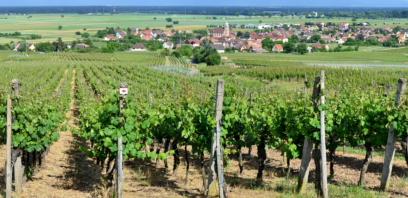 Alsace Grand Cru - Lage Spiegel in the village Bergholtz