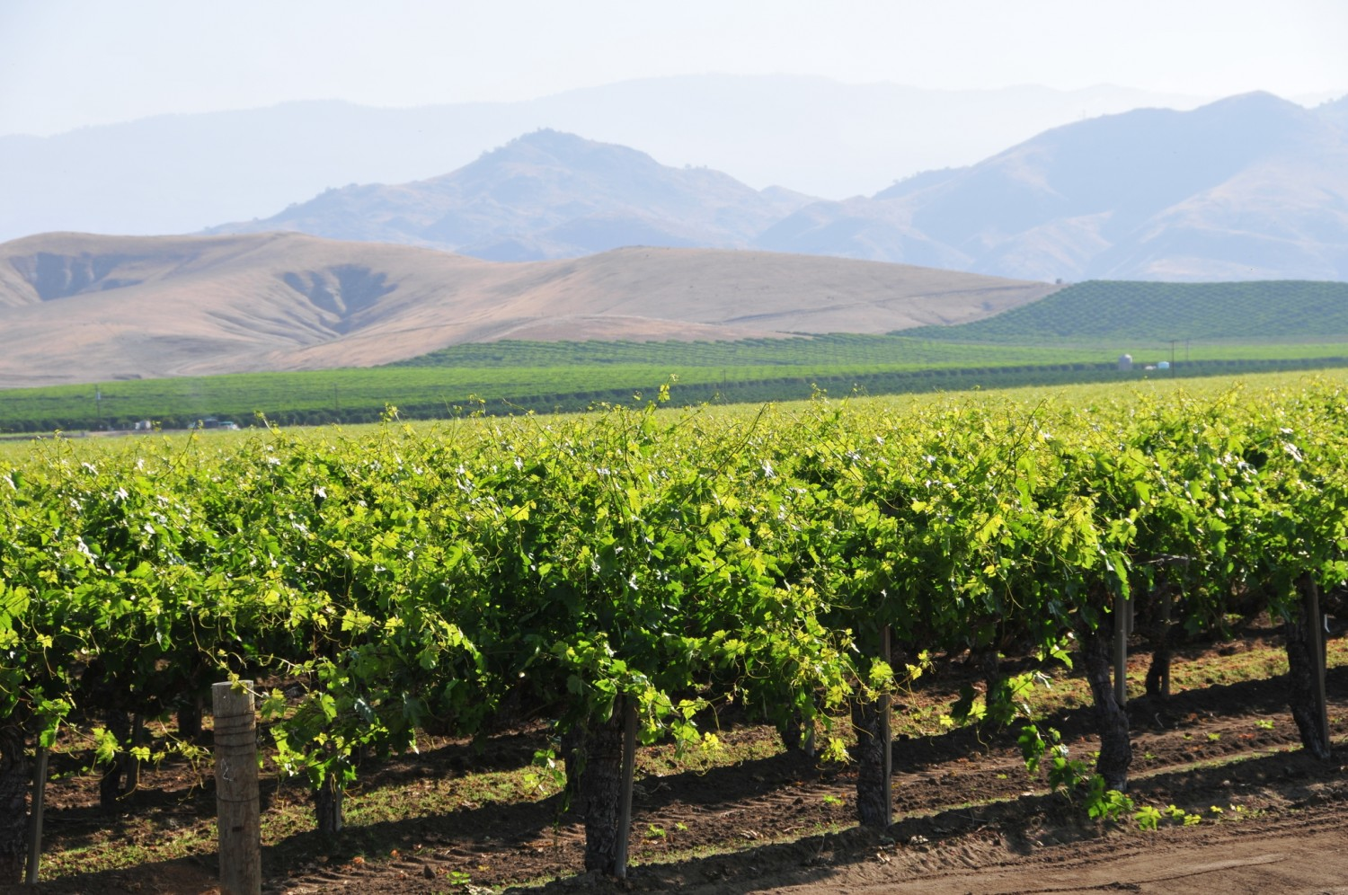 Sierra Foothills - Vineyards