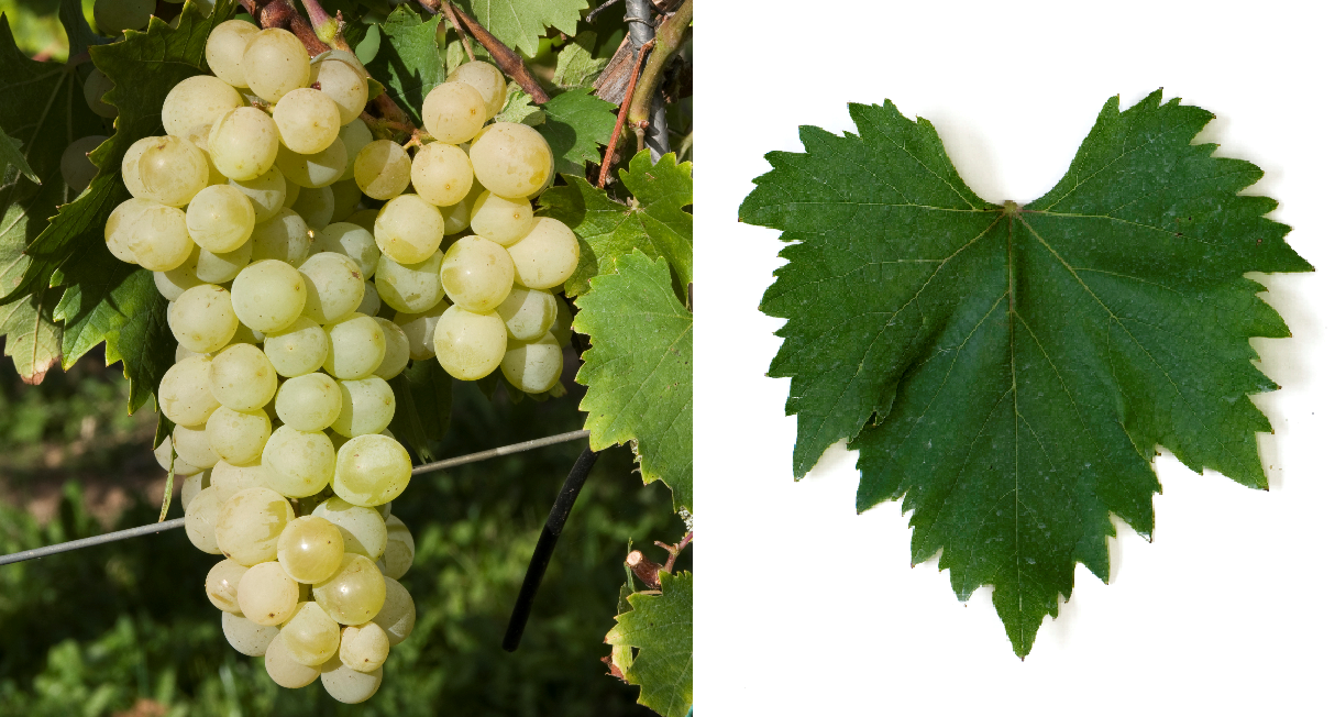 Rkatsiteli Magaracha - grape and leaf