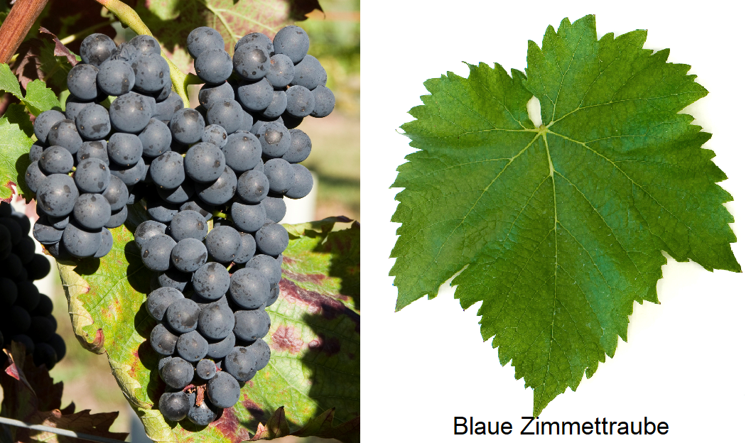 Blue Zimmettraube - grape and leaf