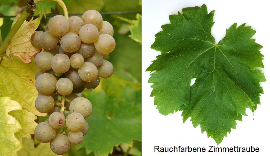 Smoke-colored Zimmettraube - grape and leaf