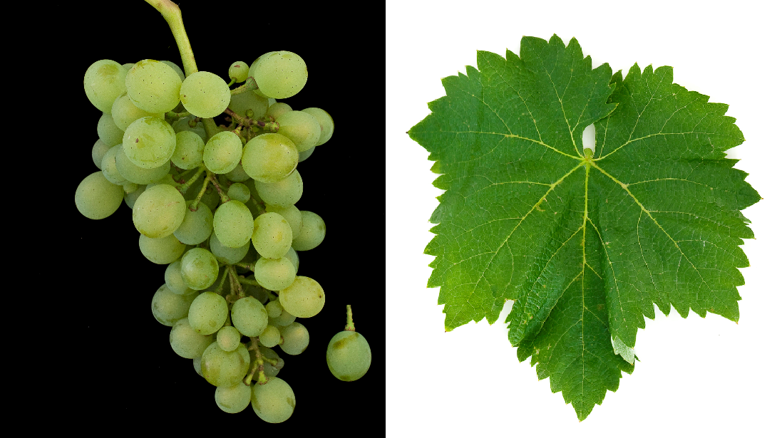 White Augster - grape and leaf