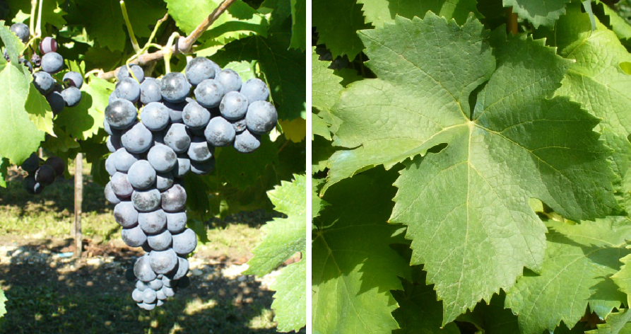 Quagliano - grape and leaf