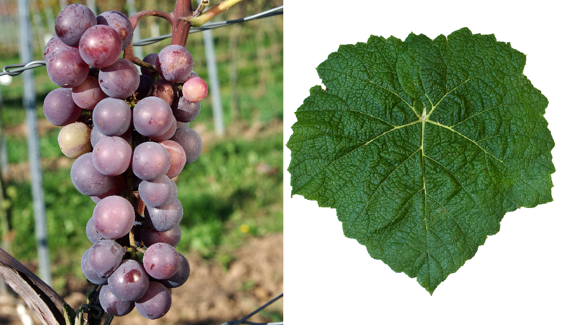 Bailey - grape and leaf