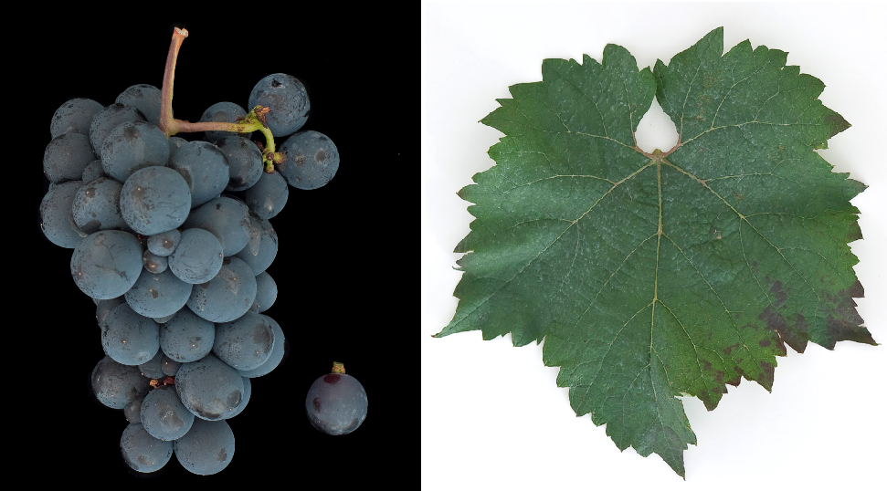 Rubi - grape and leaf