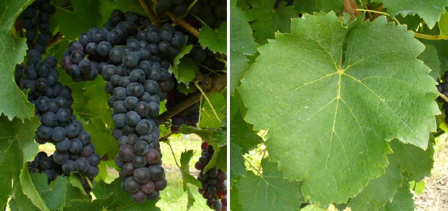 Groppello Gentile - grape and leaf