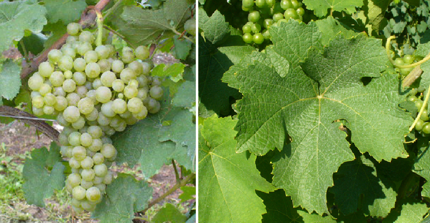 Trebbiano Romagnolo - grape and leaf