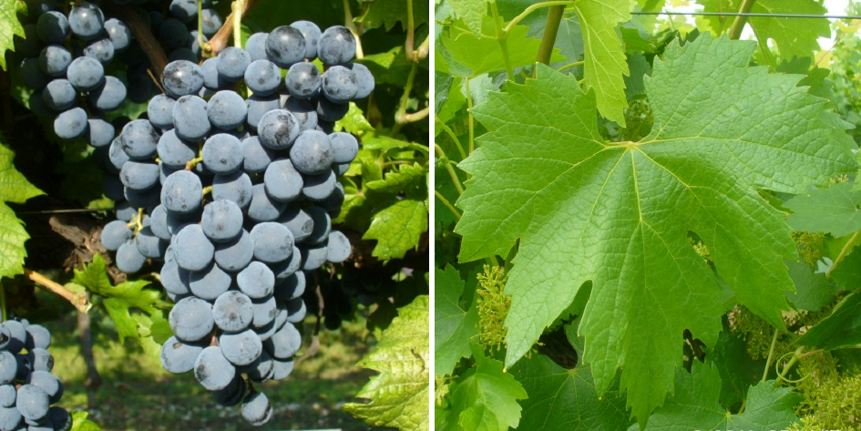 Prunesta - grape and leaf