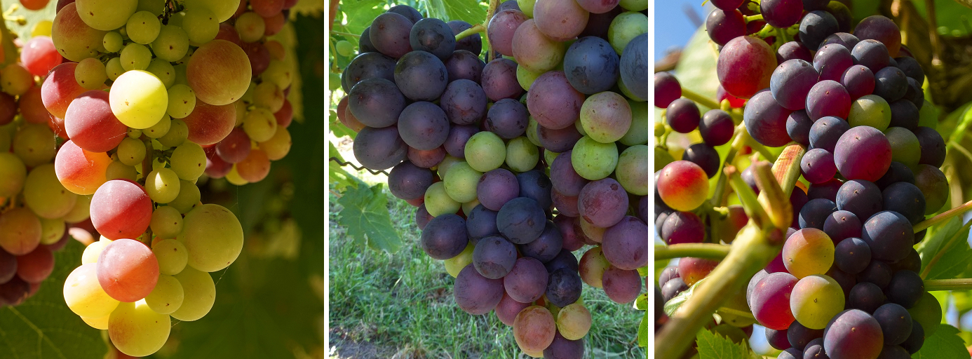Grapes - at the beginning of Véraison (color change)