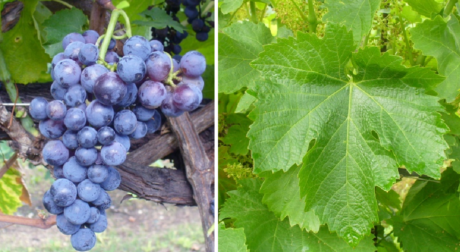 Neretto di Bairo - grape and leaf