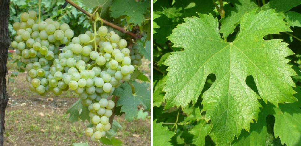 Rossese Bianco - grape and leaf