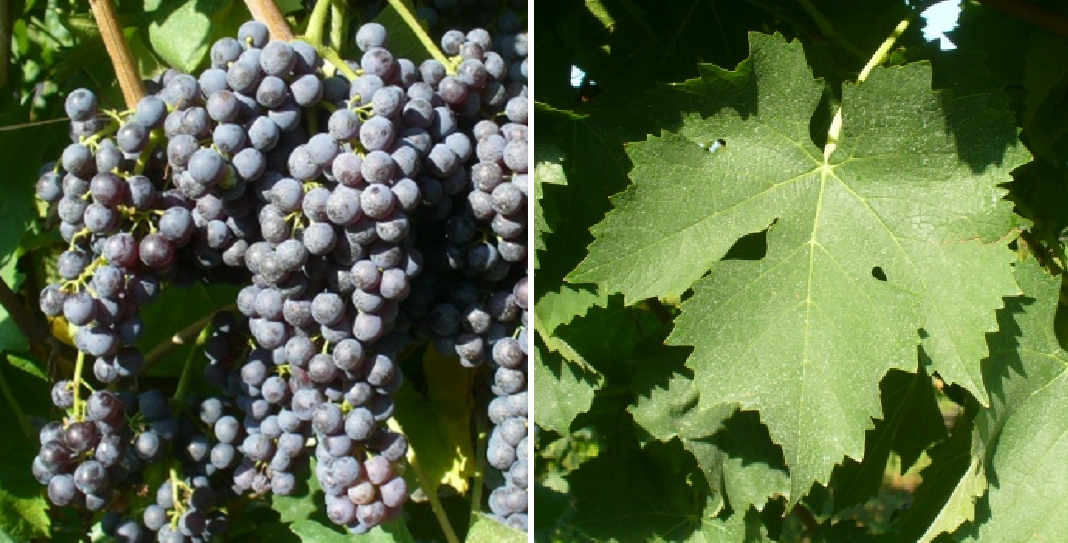 Termarina - grape and leaf