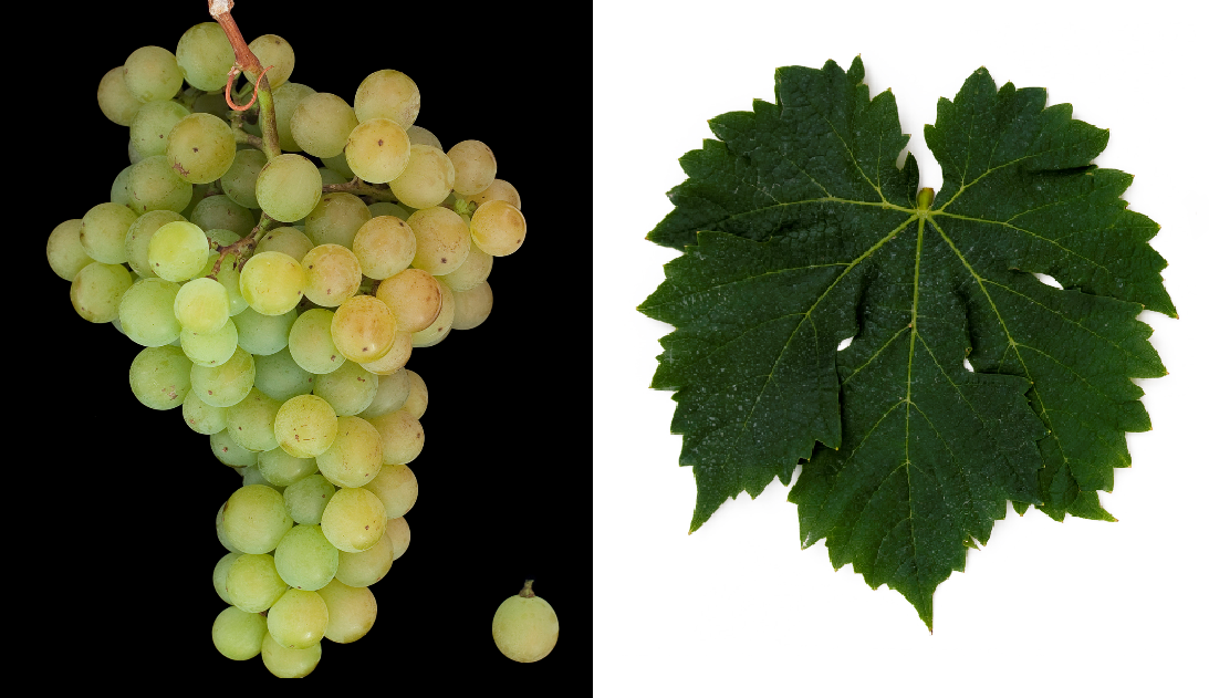 Malvasia di Candia Aromatica - grape and leaf