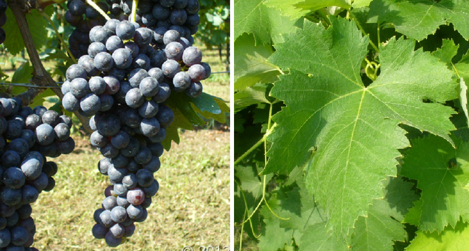 Malvasia Nera di Brindisi (Malvasia Nera di Lecce) - grape and leaf